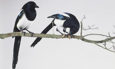 two-black-billed-magpies-001.jpg