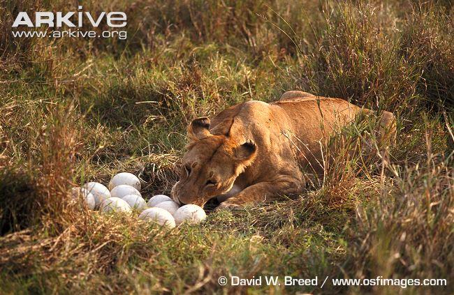 ostrich-nest-being-raided-by-lion.jpg
