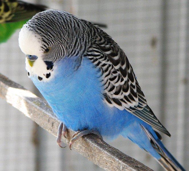 Blue_male_budgie.jpg