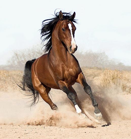 arabian-horse8.jpg
