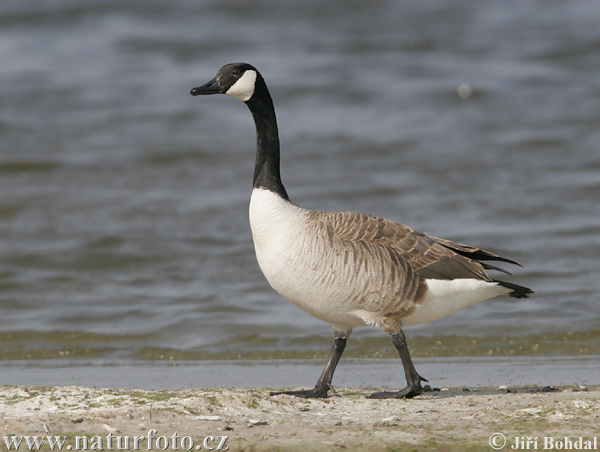 canada-goose-39905.jpg