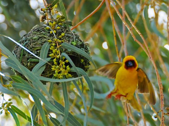 Somalia-Bird-Gold.jpg